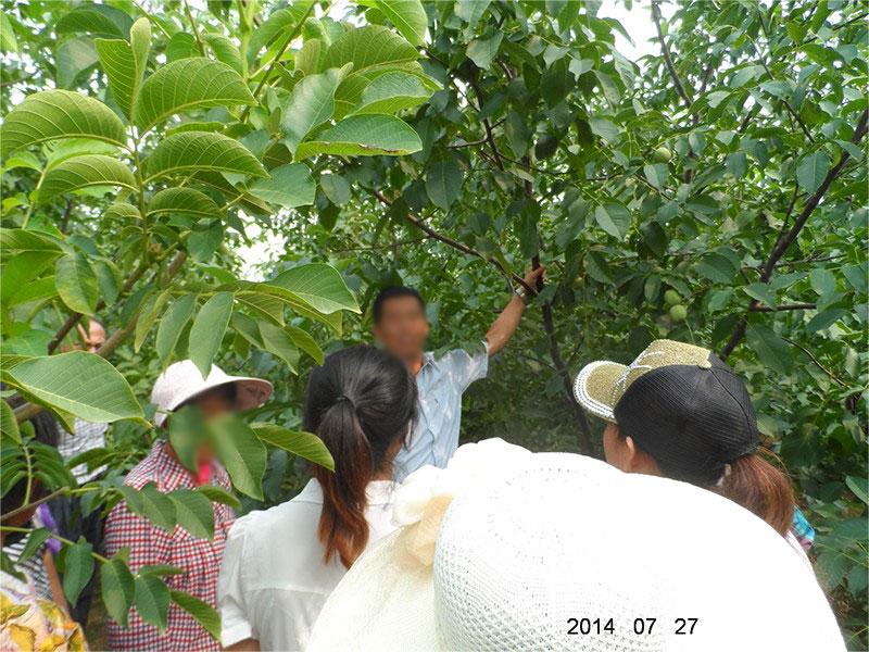 在烟台指导果树管理
