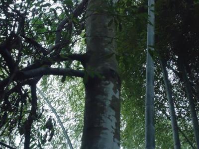 10年沉香樹
