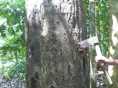 沉香树结香之砍伤法