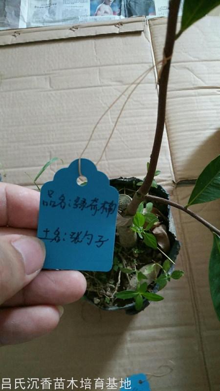 余先生訂購的張勺子奇楠樹