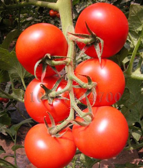 红满架番茄种子 西红柿种子 红果番茄 抗斑萎病毒