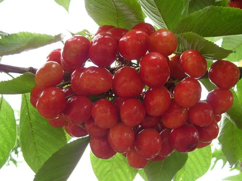 拉賓斯大櫻桃
