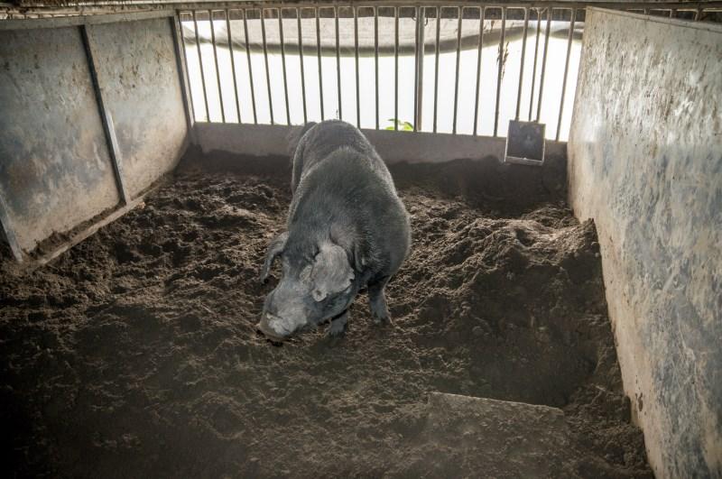 种猪涪陵黑猪