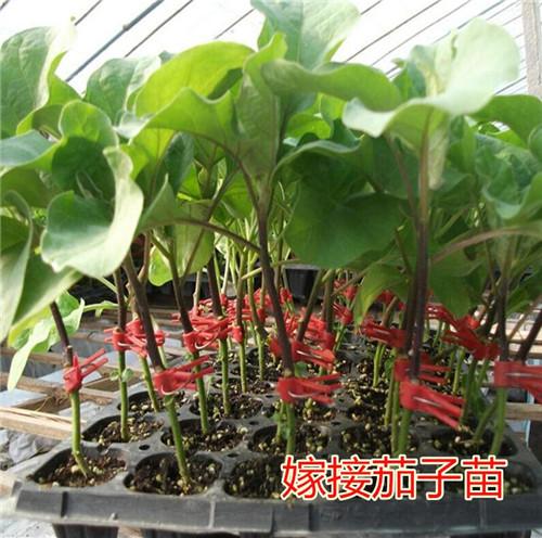 关于茄子苗种植技术解答