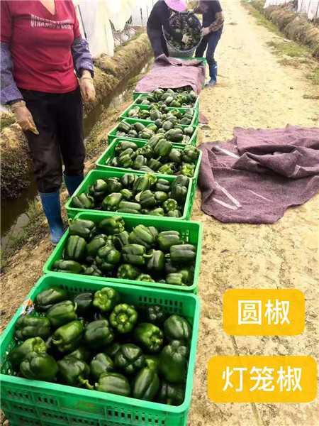 辣椒一年四季都可种植。种植辣椒发家致富