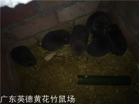深圳杨先生100对竹鼠种苗