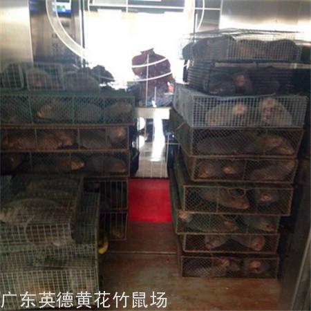 广州哪里有养竹鼠