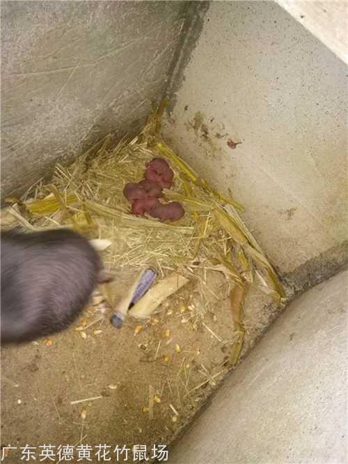 广州竹鼠种苗养殖_商品竹鼠